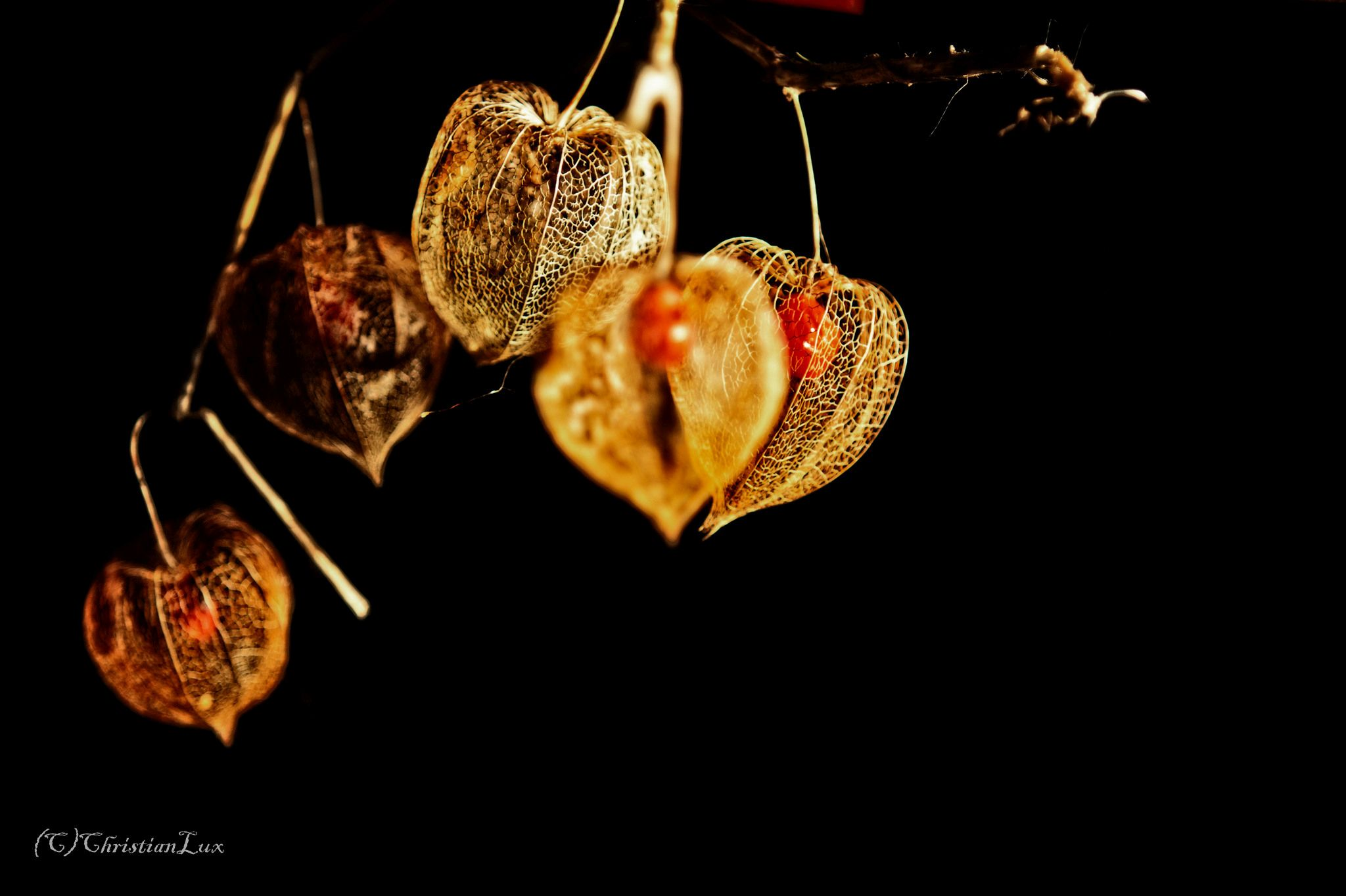 Physalis im Winter